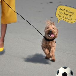 freetoedit juxtaposition dogwalkinghuman lolthepuppy.... hesocute ircadorablepup