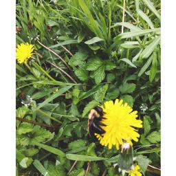 bumblebee dandelion nature summer