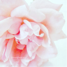 summertimesadness missyouanyway rose flower frommygarden freetoedit