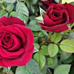freetoedit roseflower red nature loveit