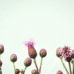 freetoedit thistle flower wildflowers whitebackground