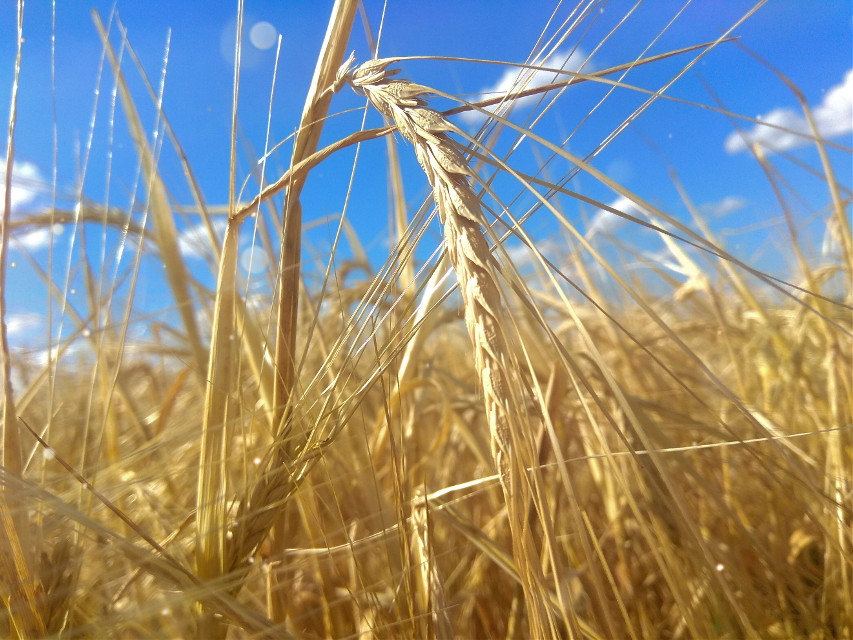 #nature #lights #light #sky #hills #field #fields #wheat #wheatfield #wheatfields