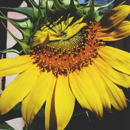 photography sunflower nature
