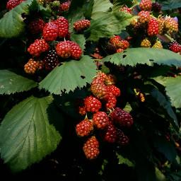 freetoedit pcfruits fruits berries nature