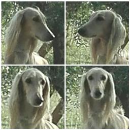 alias sighthounds saluki