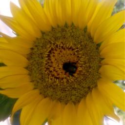 sonnenblume flower