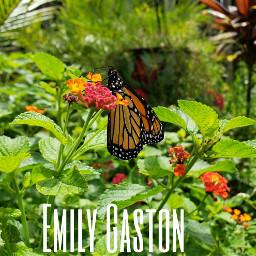 frommygarden monarch butterfly