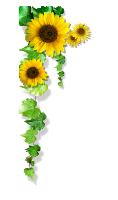 Popular And Trending Sunflowers Stickers On Picsart