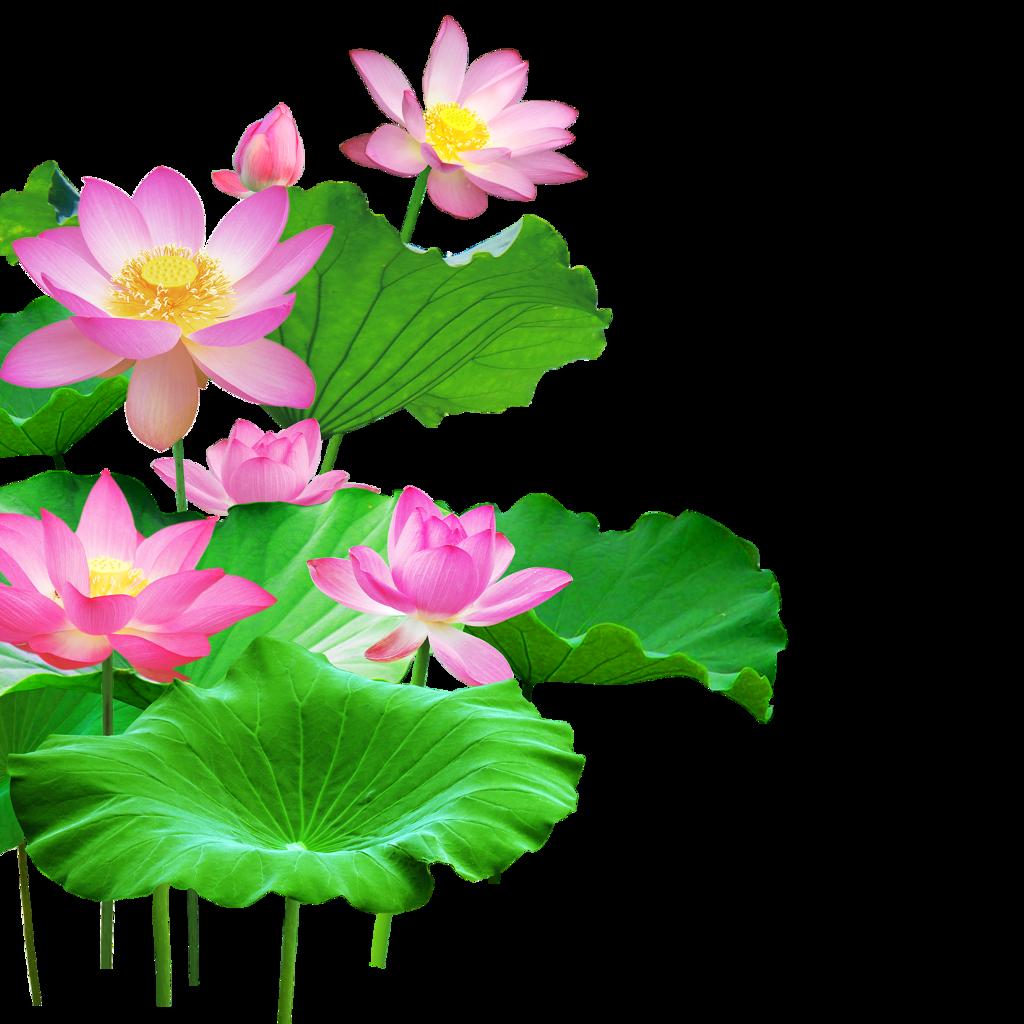 Mq lotus flower flowers pink waters green leaf mq lotus flower flowers pink waters green leaf izmirmasajfo
