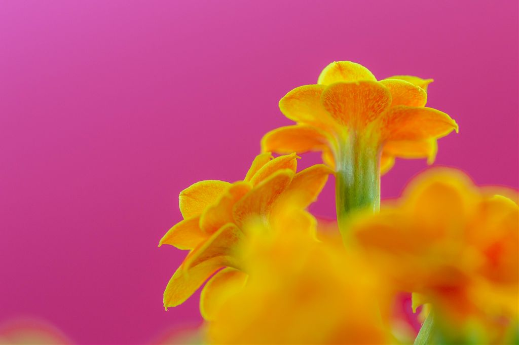 Pink Vibes Pink Yellow Orange Flowers Nature Closeu