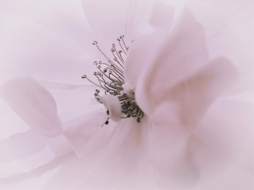 #flower #rose #macro #mininalism   #vignette #kpoppastelfltr #kpp2filter #pastel #pastelcolors #myphoto #myedit  #freetoedit