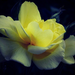 freetoedit flower yellow rose lomoeffect