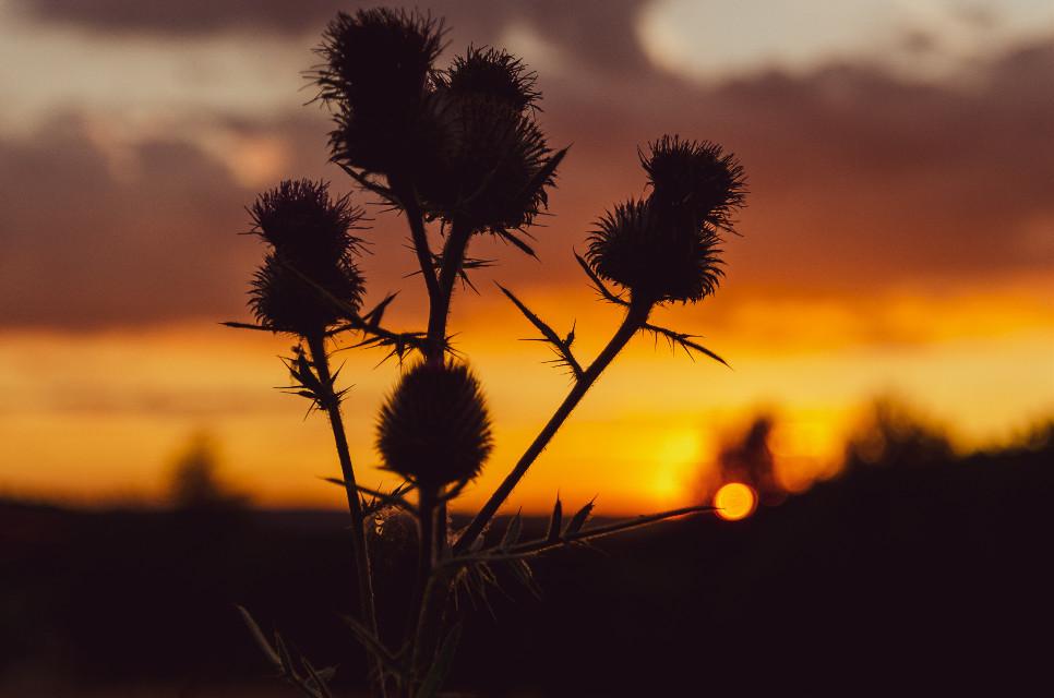 #sunset #thistle     thistle     #sunset #thistle