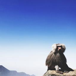 freetoedit abha monkey blue animals
