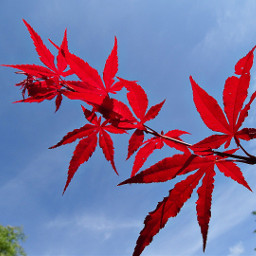 freetoedit leafs red bluesky frombelow