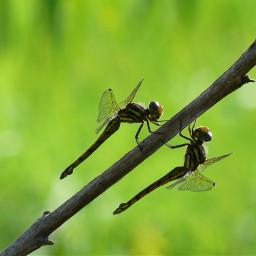 freetoedit butterfly couple nature