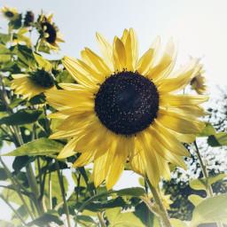 freetoedit bavaria sunflower summer autumn