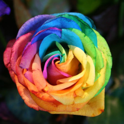 freetoedit rainbow rose real flower