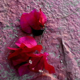 flowersofautumn flowers shadesofpink fuschia bougainvillea