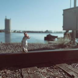 freetoedit chihuahua railroadtrack