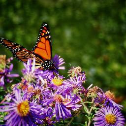 pcnaturephotography naturephotography freetoedit butterfly insect