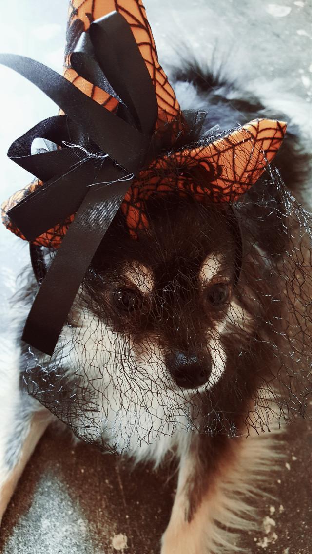 #MyPet #pets #petselfie #Autumn #october #halloween #hats #dogsofpicsart #dogsrule #dogslife #love #orange #black #picsart #pa #animaleye #doll #costume #witch #vintageivoryeffect #halloweenspirit #halloween🎃 #halloweencostumes