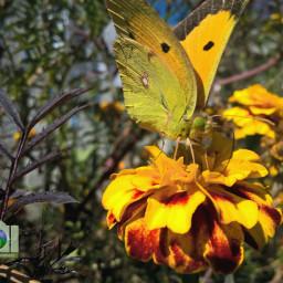 freetoedit butterfly butterflyes flowers flowersofinstagram