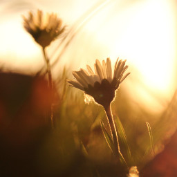 freetoedit mood moody lovely daisy daisies flower flower nature naturephotography natural photography simplybeautiful simple beautiful