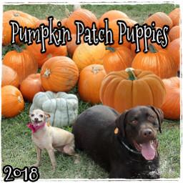 freetoedit pumpkinpatchpuppies