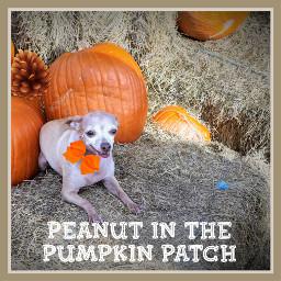 freetoedit peanutinthepumpkinpatch