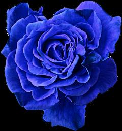 rose bluerose cute nice beautiful freetoedit