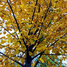 freetoedit autumn september yellowleaves