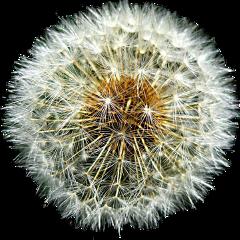 spring springflowers white dandelion nice freetoedit