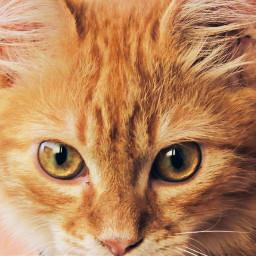 freetoedit cat orangecat photo photography