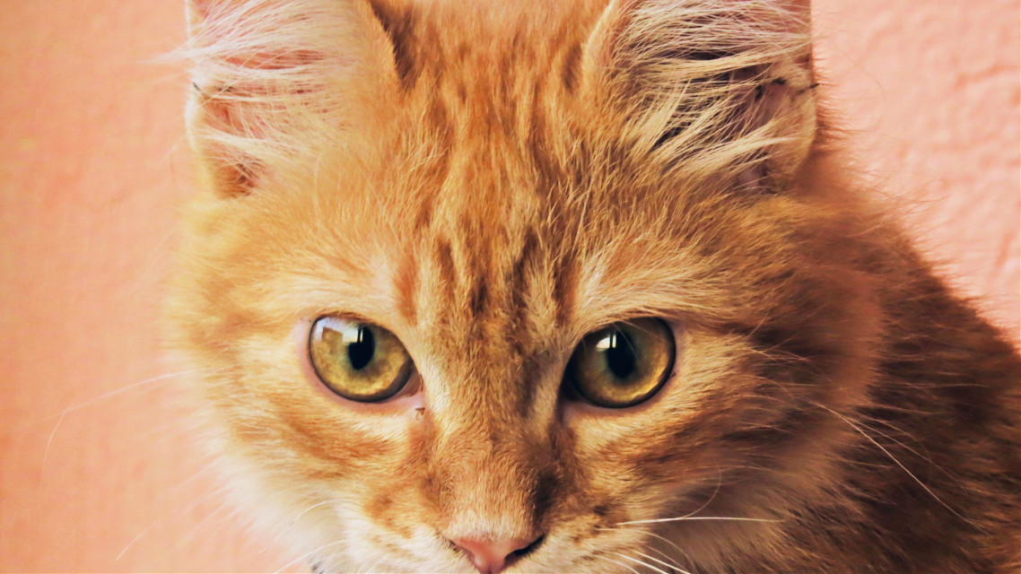 #freetoedit #cat #orangecat #photo #photography