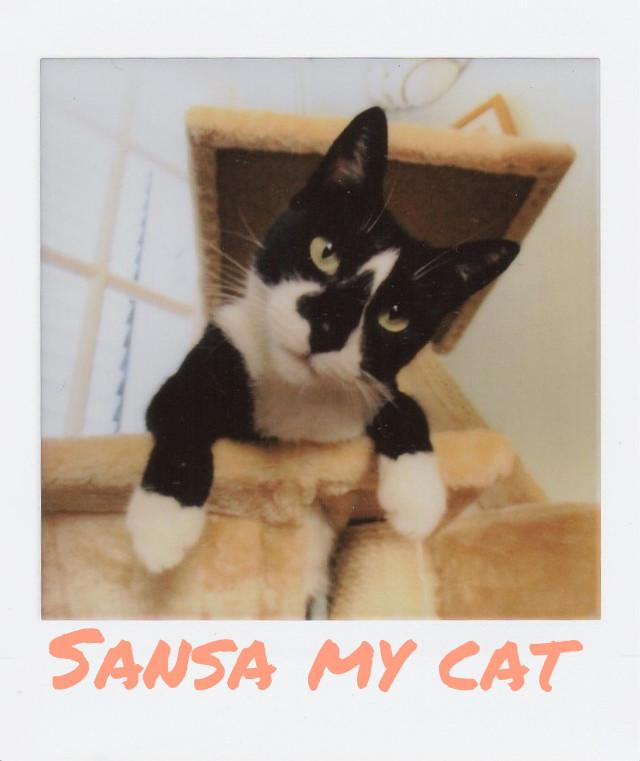 Sansa #mycat #pets #mypet #cute #petsandanimals #catsofpicsart #catlove