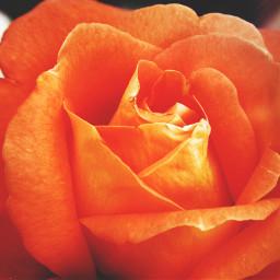 freetoedit rose orange orangeflower