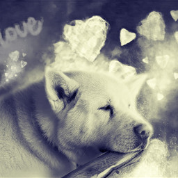 akita americanakita dog hund face schwarzweissfotografie freetoedit