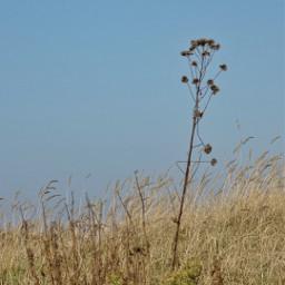 grasses bluesky nofilter minimalism photography freetoedit