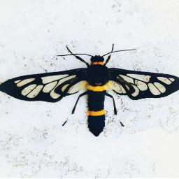 freetoedit moth patternsinnature pattern nature