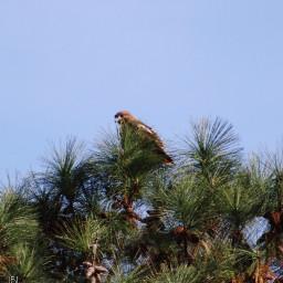 freetoedit birds hawks onmystreet naturephotography