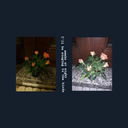 freetoedit mitski quotes aesthetic roses