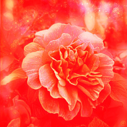 freetoedit flower orangeaesthetic orange carnation
