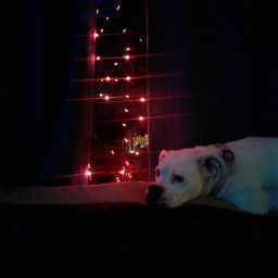 lights dog whitedog christmas redlights pclight
