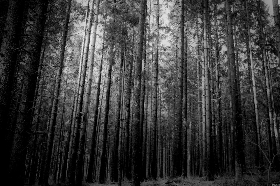 #freetoedit photo of the day...  friends#blackandwhite#bnw#forrest#tree#nature#myphotography