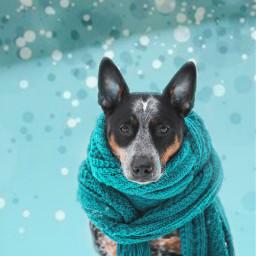 freetoedit dog scarf puppy winter irccozydog