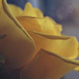 rose roseflower flower flowerphotography flowerlover