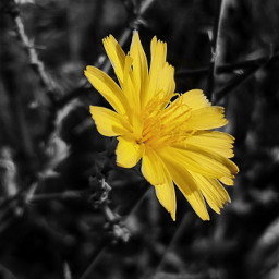 myphotography photography yellowflower flower blackandwhite freetoedit
