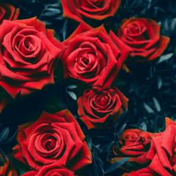 freetoedit editedbyme madewithpicsart remixed roses