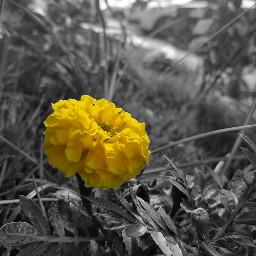myphotography photography yellowflower blackandwhite yellow freetoedit